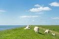 Sheep at the Dutch dike Royalty Free Stock Photo