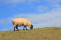 Sheep on a dyke Stock Photography
