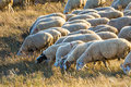 Sheep eat grass at the meadow Royalty Free Stock Image