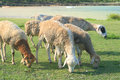 Sheep eating grass rodrigues island image showing a group of moving freely and grazing in the open mauritius Royalty Free Stock Images