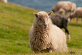 Sheep on the faer oer mykines cliffs Royalty Free Stock Photo
