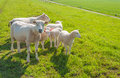 Sheep family on a Dutch dike Stock Photo