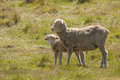 Sheep Family with Young Lamb Royalty Free Stock Photo