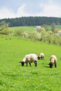 Sheep farm Royalty Free Stock Image