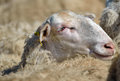 Sheep of farm from macedonia Stock Photography