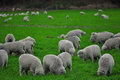 Sheep farm in New Zealand Royalty Free Stock Photo