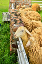 Sheep in farm west of thailand Stock Photos