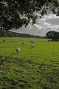 Sheep on Farmland, Wirral, England Royalty Free Stock Image