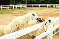 Sheep feeding grass in farm Stock Image