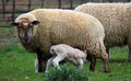 Sheep feeding her lambs mother on the south island of new zealand Stock Photo