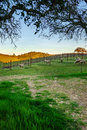 Sheep feeding in a vineyard in napa california usa Stock Photography