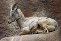 Sheep female desert bighorn sitting on ledge Royalty Free Stock Photos