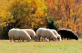 Sheep on a field Stock Photo