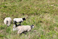 Sheep in a Field Royalty Free Stock Photo