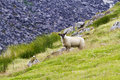 Sheep on field in mountains green with rocky mountain background glendalough country wicklow ireland Royalty Free Stock Photo