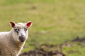 Sheep on the field Royalty Free Stock Photo