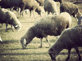 Sheep flock sheepflock put to pasture on a willow Stock Photo