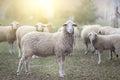 Sheep flock standing on farmland Royalty Free Stock Photo