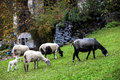 Sheep free to graze in the meadow Royalty Free Stock Image