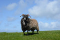 Sheep on grass Stock Photos