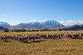 Sheep and grass field in New Zealand Royalty Free Stock Images