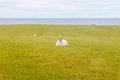 Sheep grass and the sea from scotland Stock Photos
