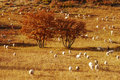 Sheep on grassland Royalty Free Stock Images