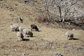 Sheep in grassland sichan china Stock Image