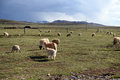 Sheep on the grassland Royalty Free Stock Photo