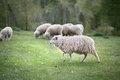 Sheep graze in the meadow near forest Stock Image