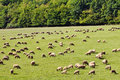 Sheep grazes