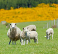 Sheep Grazing Royalty Free Stock Photos