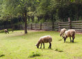 Sheep grazing Stock Photography