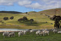 Sheep grazing at carcoar central west nsw below the blayney to windfarm the distant fields have cattle focus to foreground Royalty Free Stock Photo