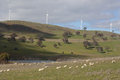 Sheep grazing at carcoar wind farm carcoar on the hills below the windmills of windfarm central west nsw australia Royalty Free Stock Photo