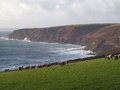 Sheep Grazing On Cliffs in Cornwall Stock Image