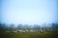Sheep grazing at dawn Royalty Free Stock Photo
