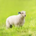 Sheep grazing a eating grass Stock Photography