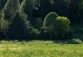 Sheep grazing in a field in Charlevoix Quebec Royalty Free Stock Photo