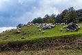Sheep grazing in the field in the mountains Stock Photo