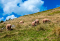Sheep grazing in the field in the mountains Royalty Free Stock Photos