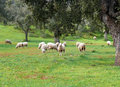 Sheep grazing in a field with oaks Stock Images