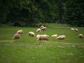 Sheep grazing on green grass a meadow and large trees in the background Stock Photos