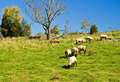 Sheep Grazing on a Hill Stock Photography
