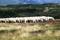 Sheep grazing in mountain italy Royalty Free Stock Image