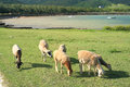 Sheep grazing near the seaside rodrigues island image showing a small herd of feeding off grass by mauritius Royalty Free Stock Photos