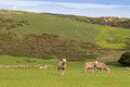 Sheep grazing on the open green meadows during Autumn in Austral Royalty Free Stock Photo