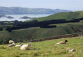 Sheep grazing on the road to larnach castle in dunedin new zeal zealand Stock Photo