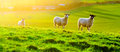 Sheep Grazing at Sunset Stock Photos
