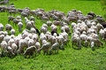 Sheep grazing white and black wool as they graze Royalty Free Stock Image